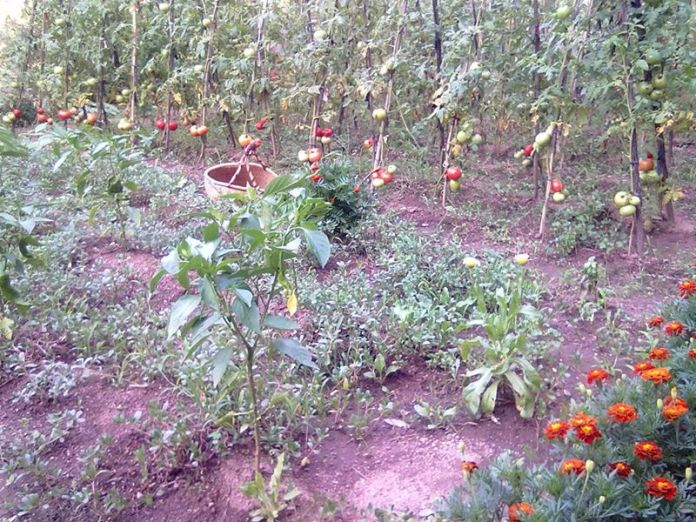 ( The author's garden tomatoes )
