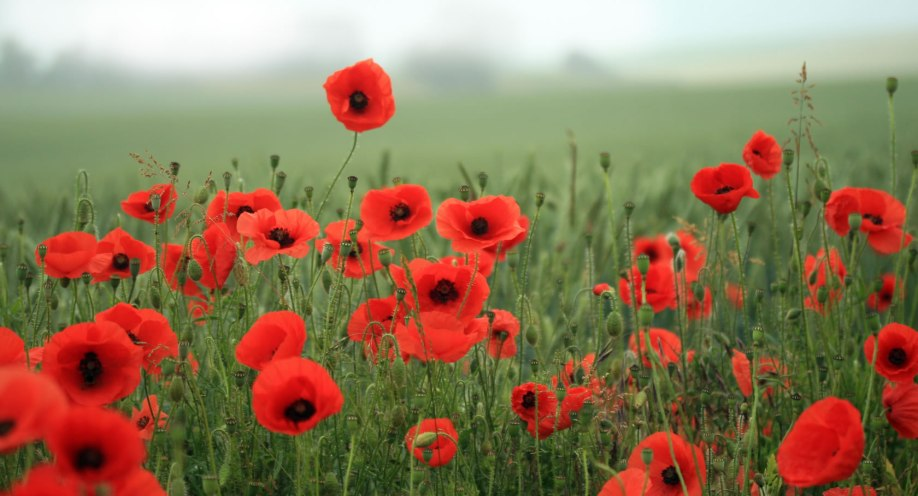The Poppy Is A Symbol Of War The Norwich Radical