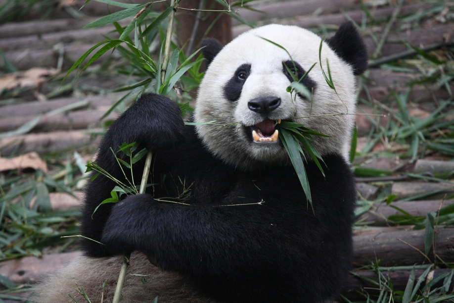 giant-panda-3