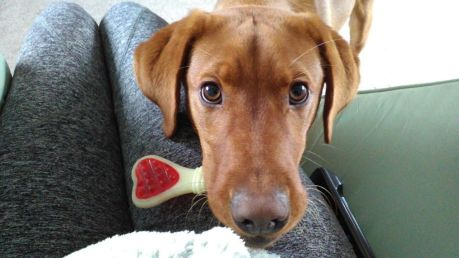 george-the-service-dog